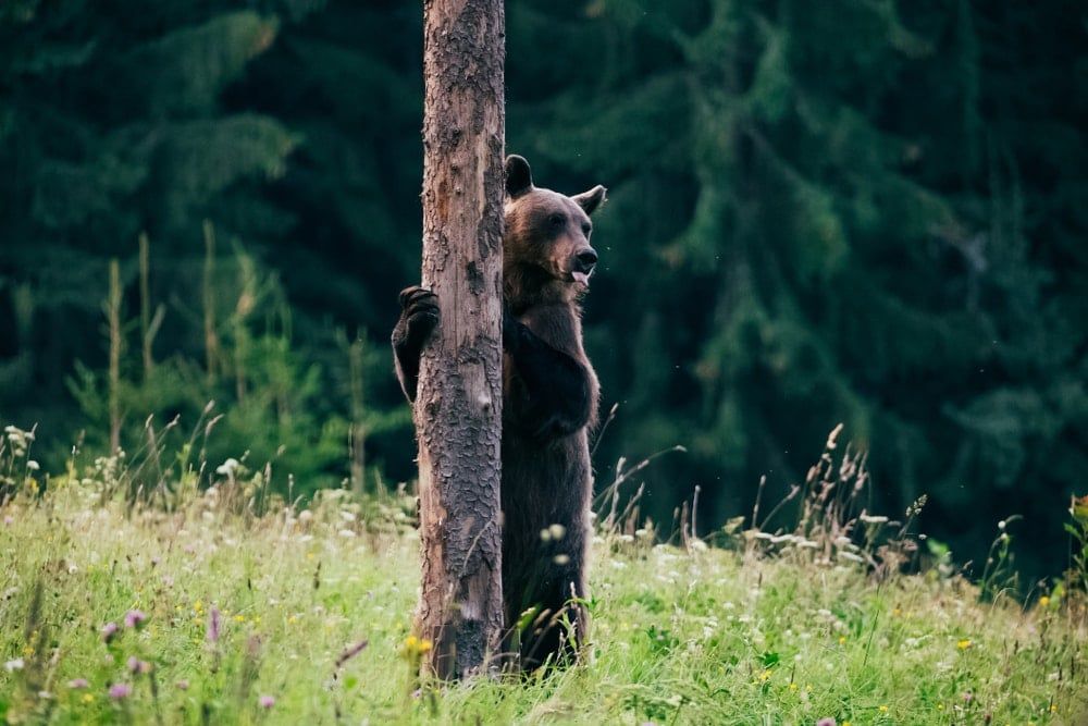 Standing brown bear holding on a tree in a bear country