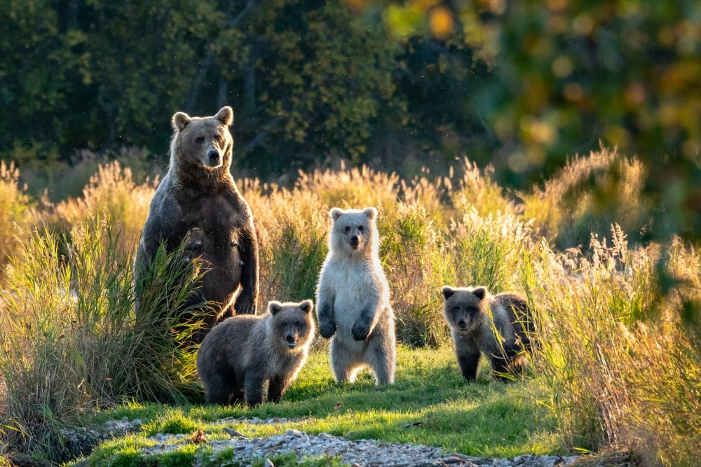 Group of bears in the forest