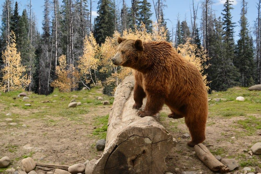 Brown bear stepping on a fallen tree