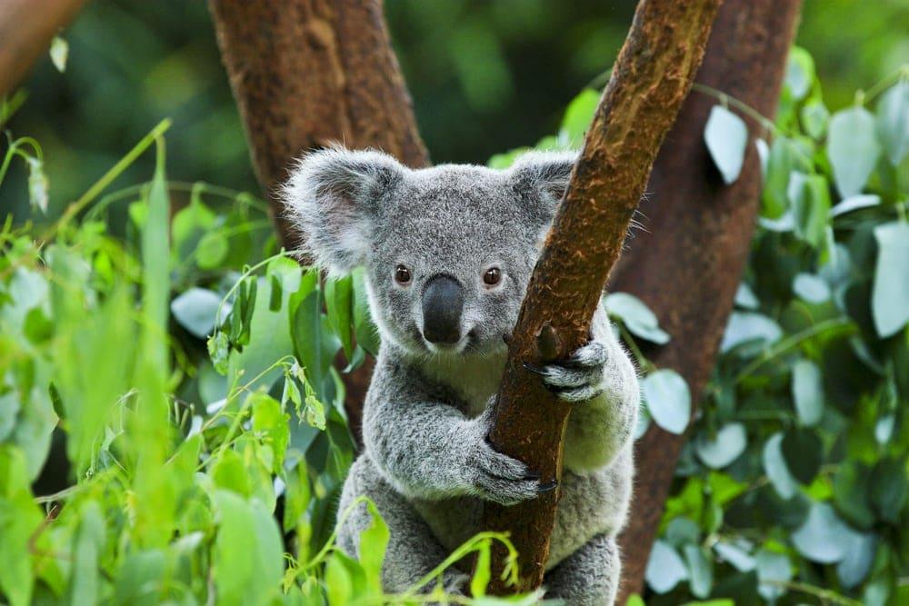 Cute Koala bear holding a tree branches