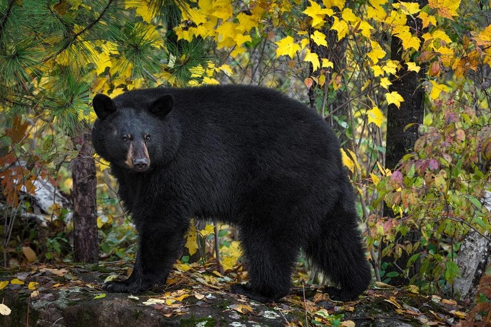 North American Black Bear (Ursus americanus)
