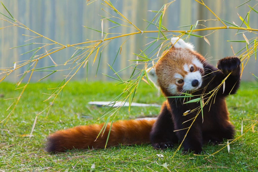 Small red panda holding a plant