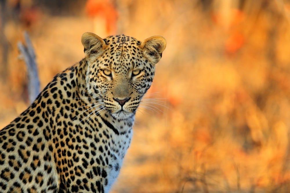 Panthera pardus pardus also known as african leopard