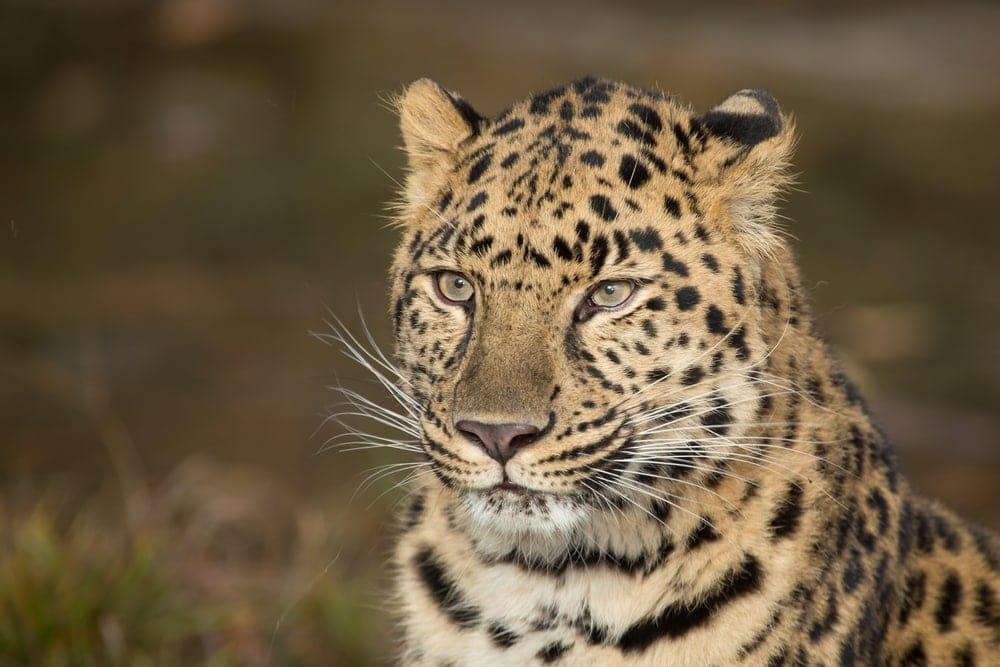 Panthera pardus orientalis also known as amur leopard