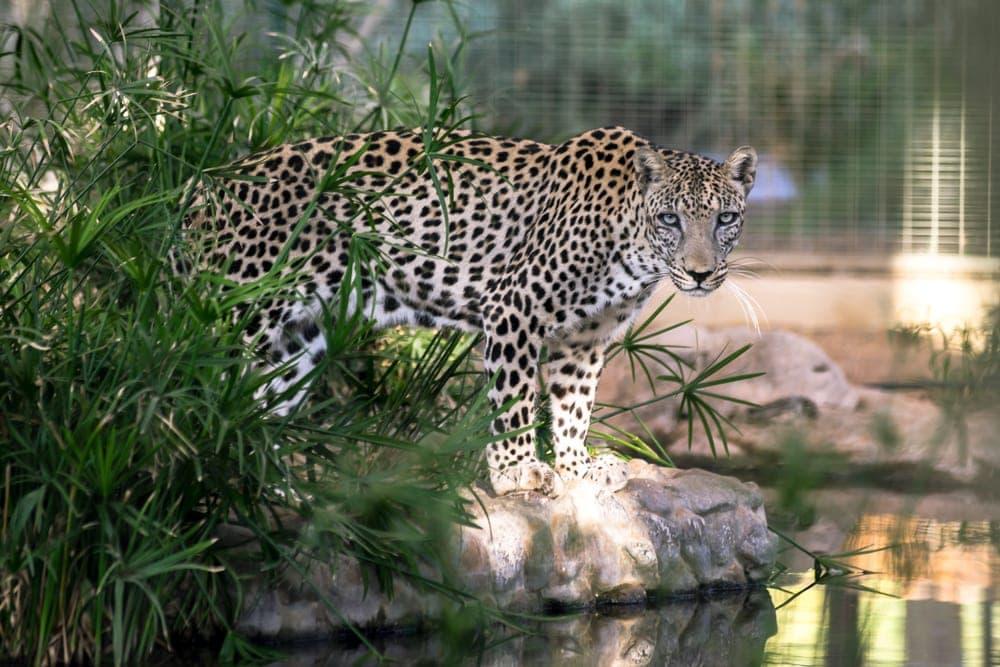 Panthera pardus nimr also known as arabian leopard