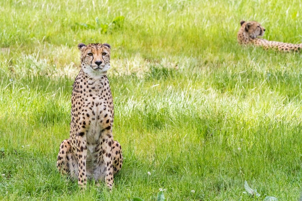 Acinonyx jubatus venaticus also known as asiatic cheetah