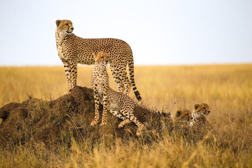 Four cheetahs resting on a rock
