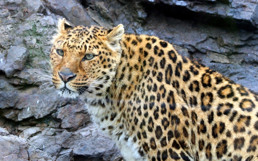 Panthera pardus delacouri also known as indochinese leopard