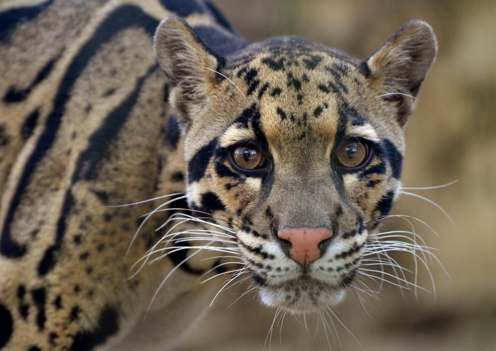 Neofelis nebulosa also known as clouded leopard