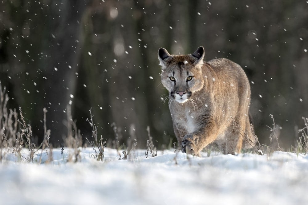Puma concolor couguar also known as north american cougar or mountain lion
