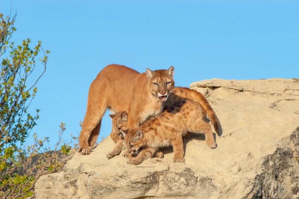 Cougar protecting baby mountain lions while on a rock