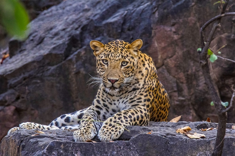 Panthera pardus fusca also known as indian leopard