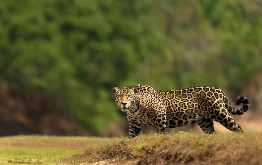 Panthera onca also known as jaguar