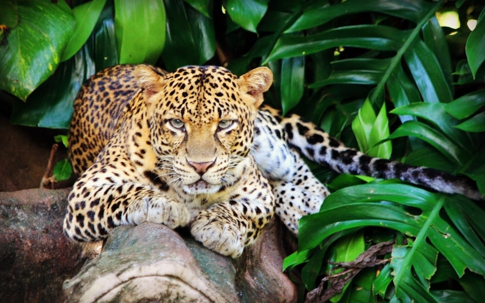 Panthera pardus melas also known as javan leopard