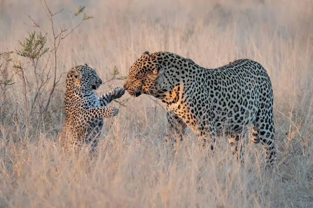 Big leopard playing with a cub