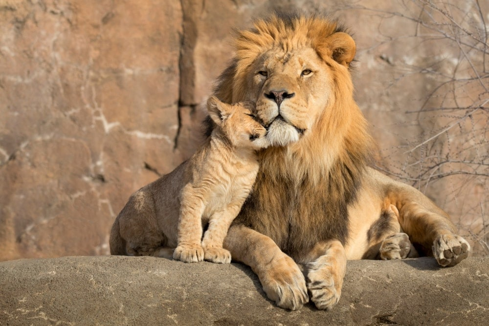 African lion with his cub on a rocky hill