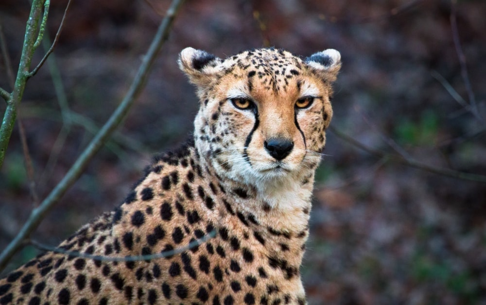 Acinonyx jubatus soemmeringii also known as northeast african cheetah