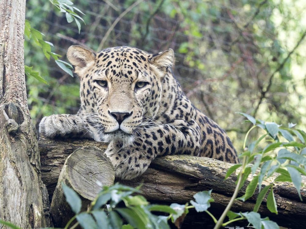 Panthera pardus tulliana also known as persian leopard