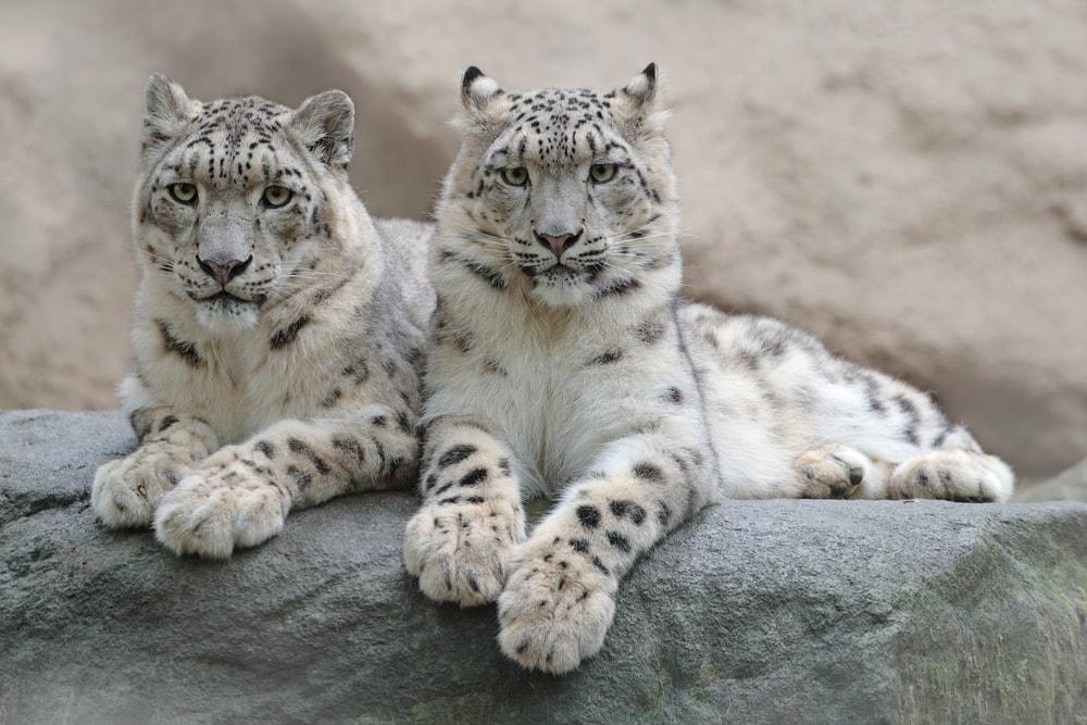 2 Snow Leopards sitting on a rocky hill