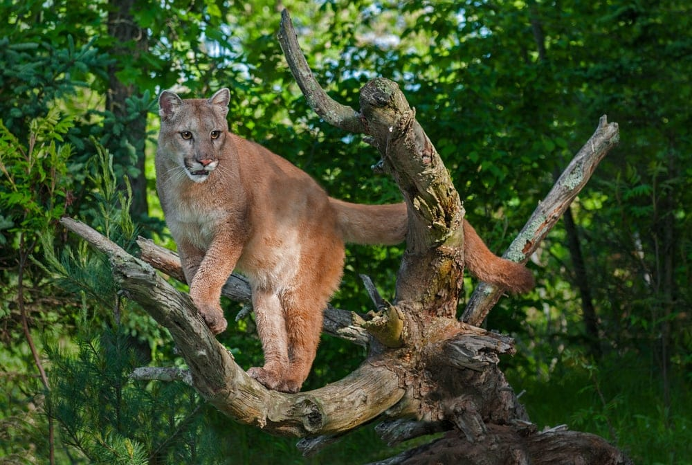 Puma concolor concolor also known as south american cougar or mountain lion