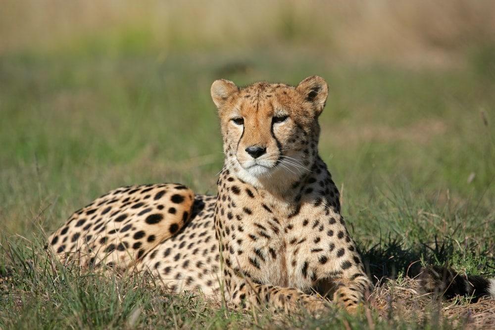 Acinonyx jubatus jubatus also known as southeast african cheetah