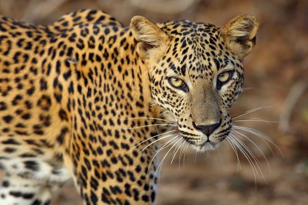 Panthera pardus kotiya also known as sri lankan leopard