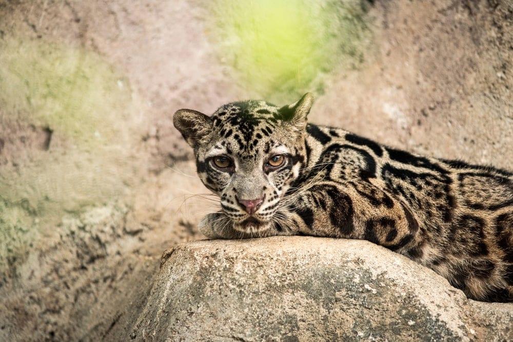 Neofelis diardi also known as sunda clouded leopard