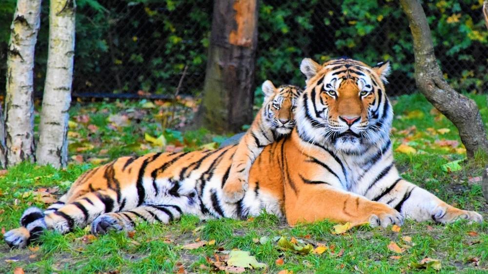 Baby tiger hugging a big bengal tiger