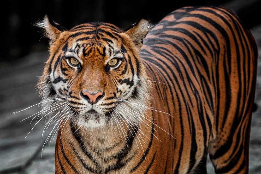 Panthera tigris sondaica or Sunda Island tiger
