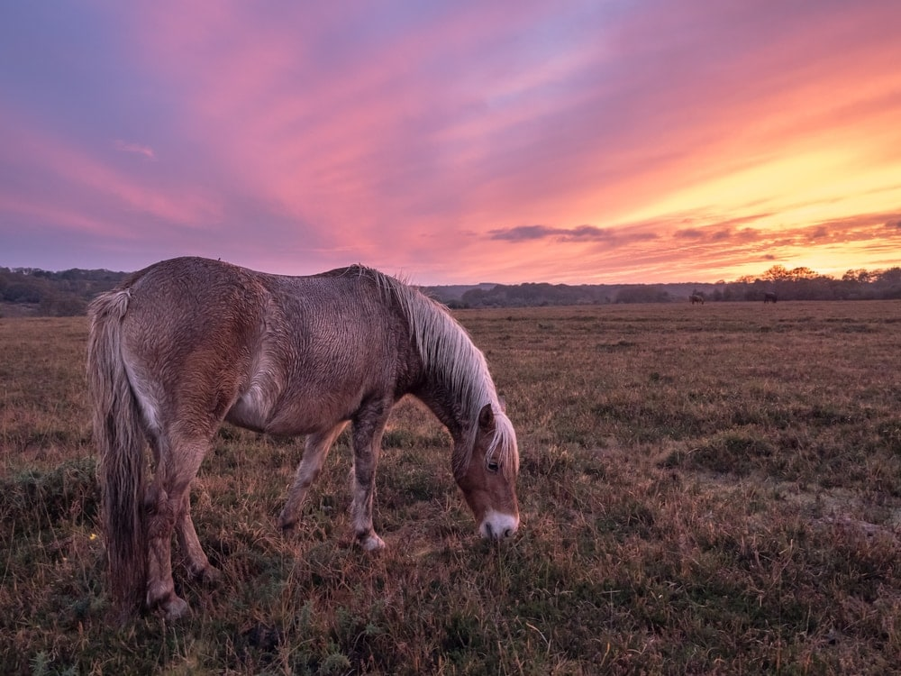 New forest pony eating grasses on a sunset