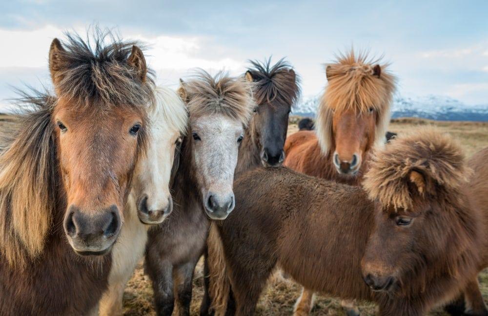 Close up photo of icelandic horses