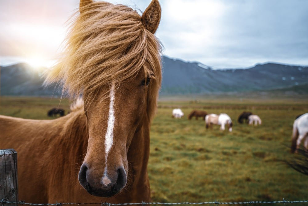 Close up photo of an icelandic horse with field landscape in the background