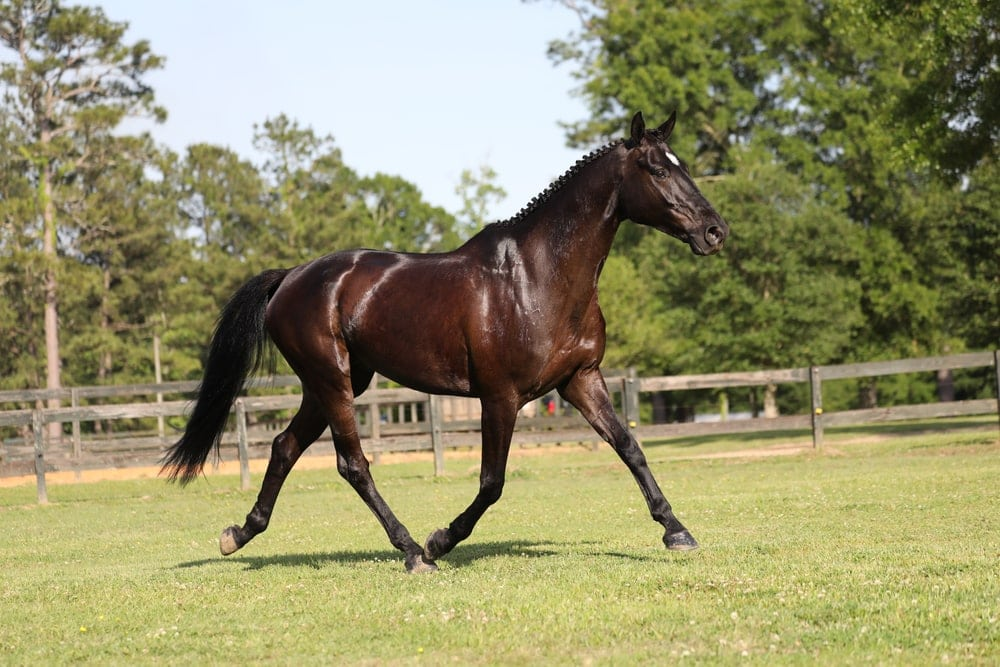 Irish sport horse aka irish hunter