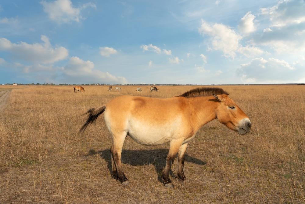 Mongolian Przewalski Horse