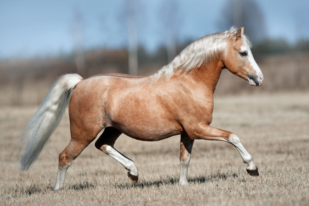Welsh Pony or Welsh Mountain Pony