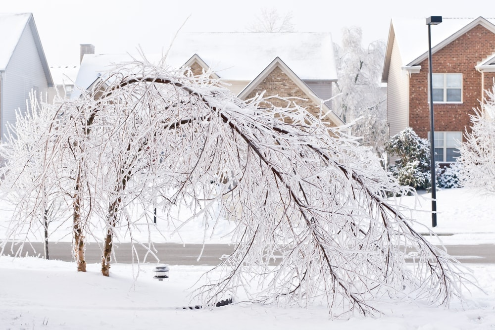 Trees bent over caused by ice storm, a type of natural disaster