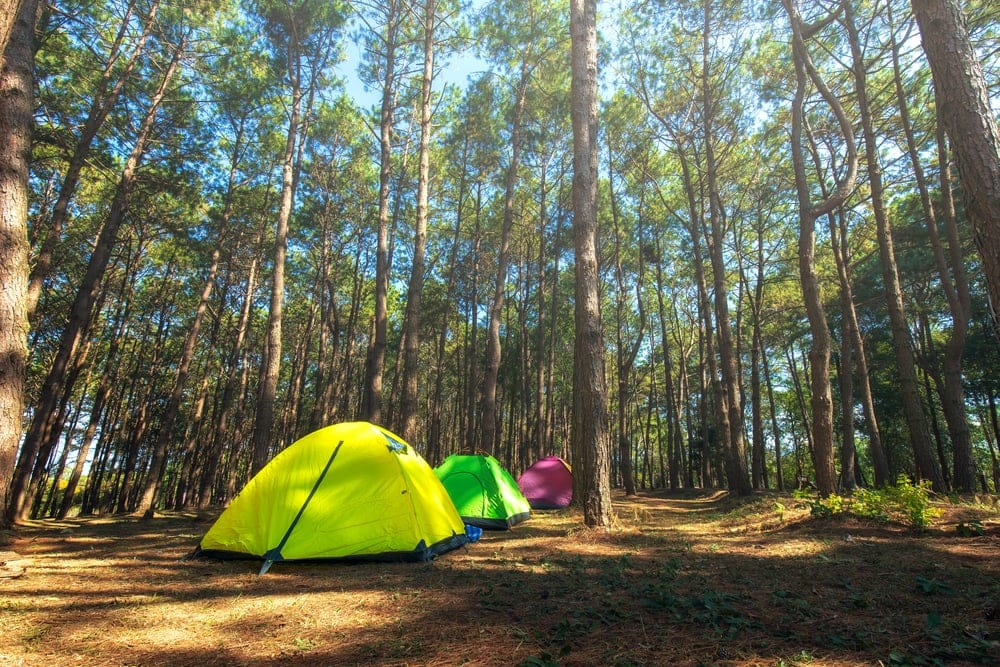 Tall trees with tent under on a summer day