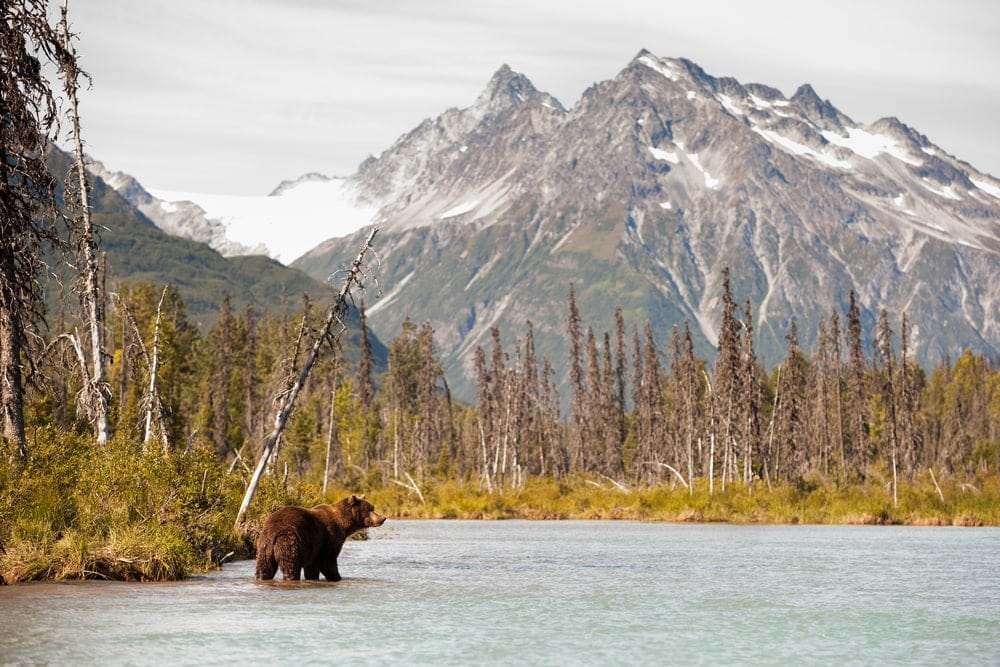Brown bear hunting for food in a bear country