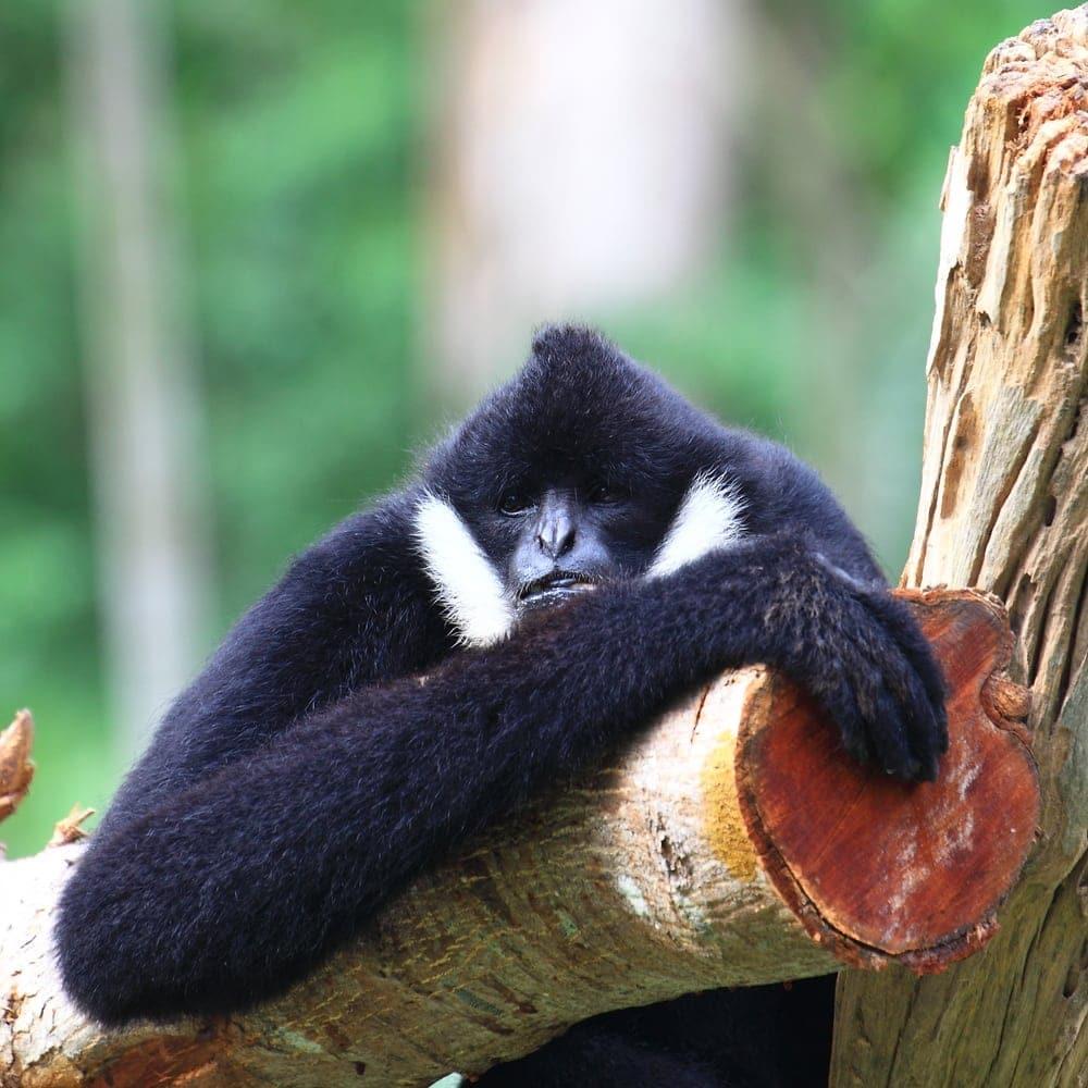 Black crested gibbon (Nomascus concolor)