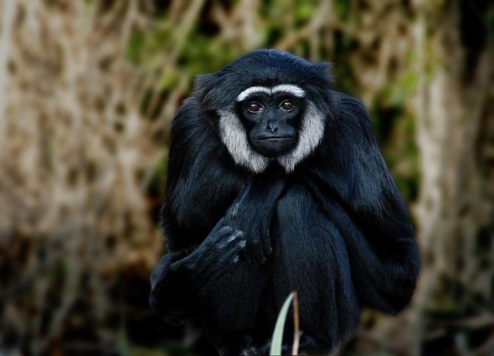 Agile  Gibbon (Hylobates agilis) or black-handed gibbon