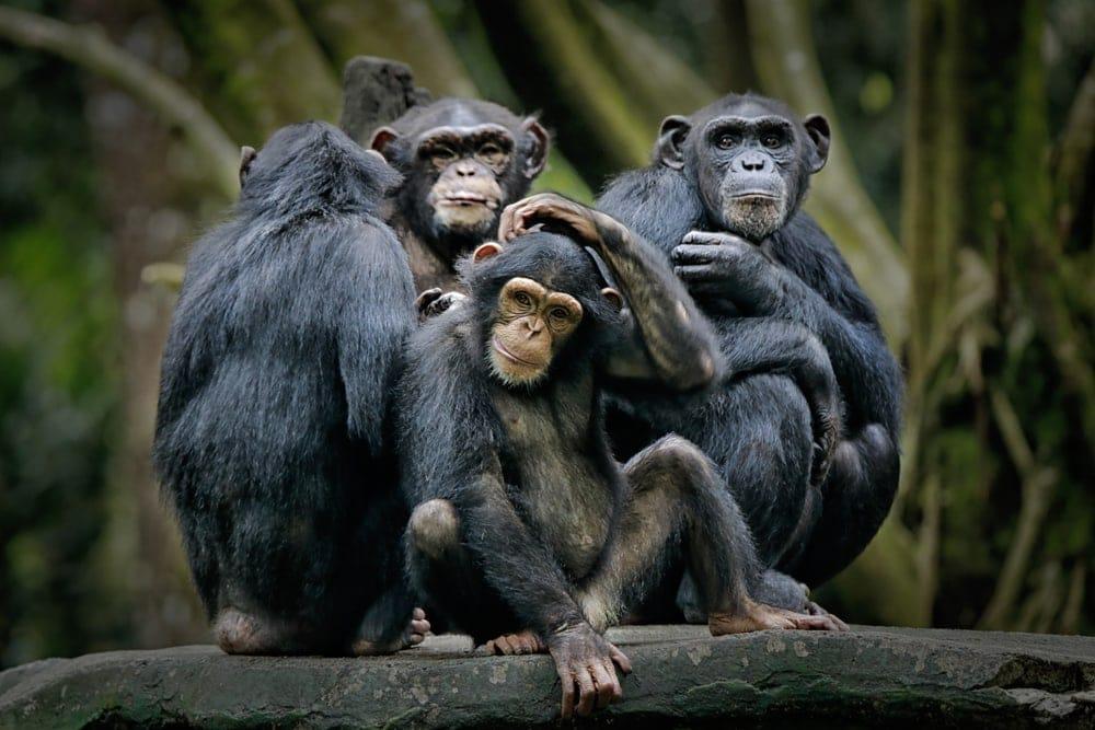 Chimpanzee (Pan troglodytes) or chimp