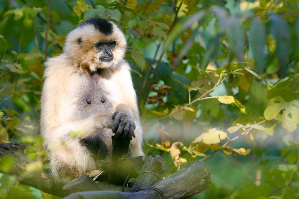 Eastern Black crested Gibbon (Nomascus nasutus)