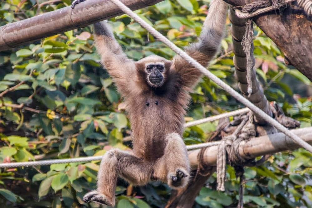 Western Hoolock Gibbon (Hoolock hoolock)