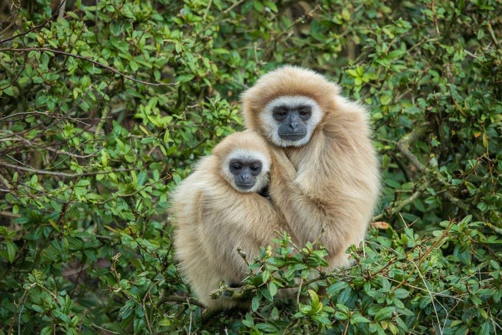 Lar Gibbon (Hylobates lar) or white-handed gibbon