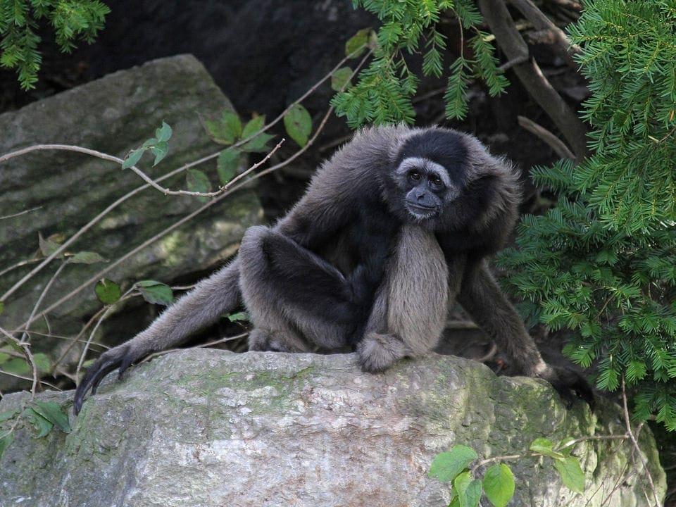 Mueller's Gibbon (Hylobates muelleri)