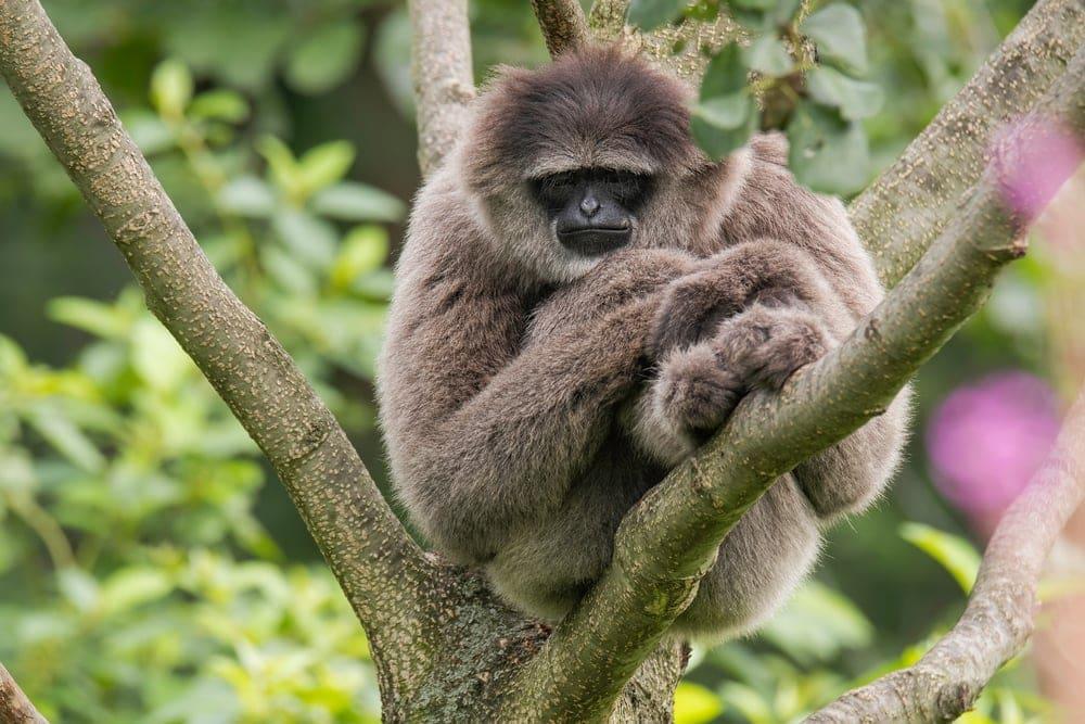 Silvery Gibbon (Hylobates moloch)