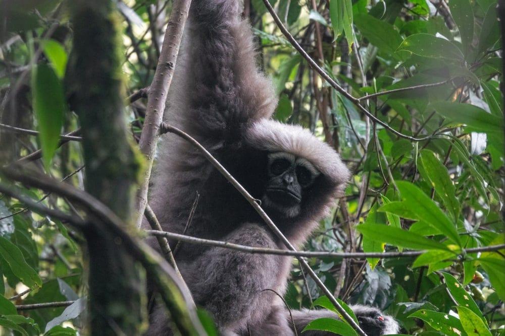 Skywalker Hoolock Gibbon (Hoolock tianxing)