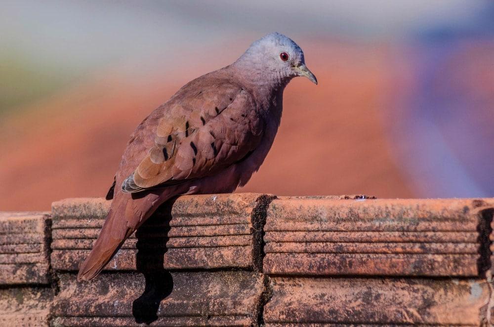Columbinae bird on bricks