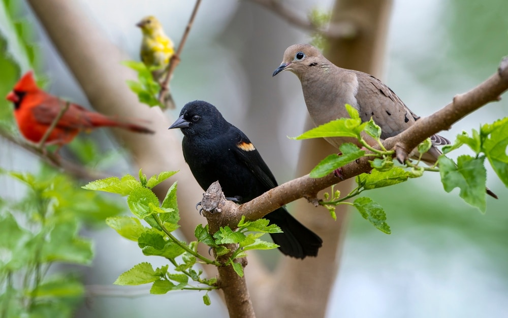 Doves on trees