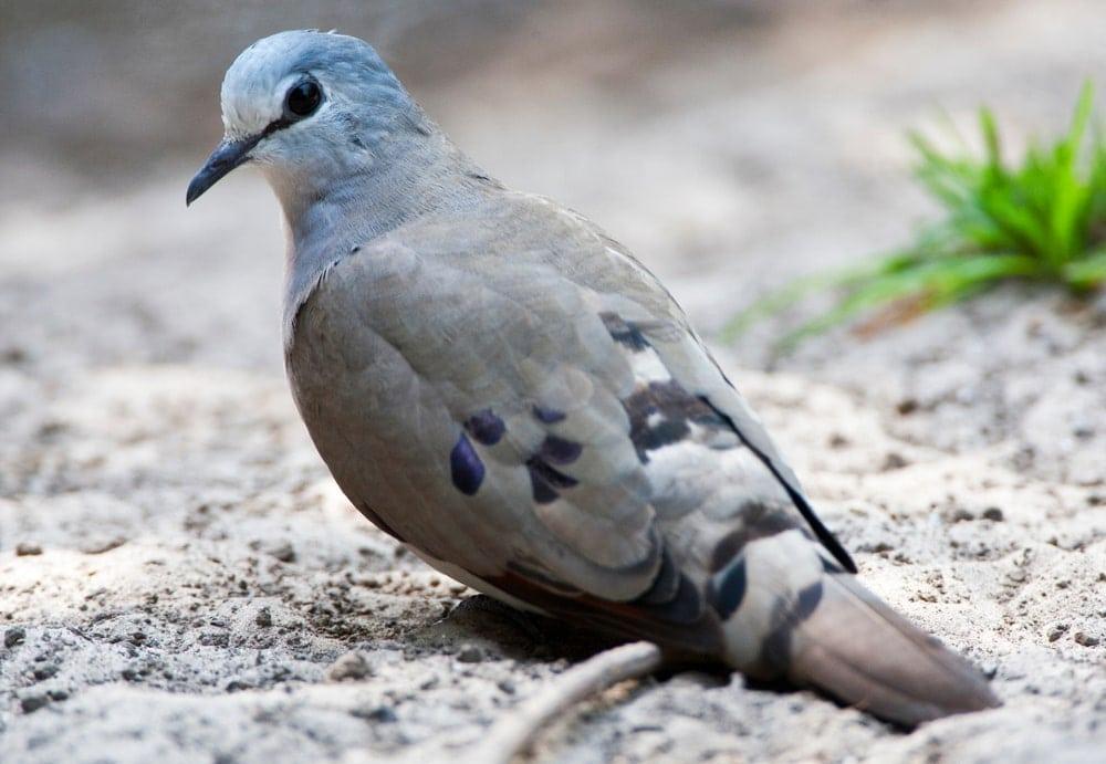 Black-Billed Wood Dove (Turtur abyssinicus)